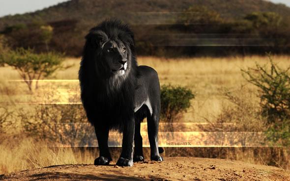 Leão negro (outra montagem)
