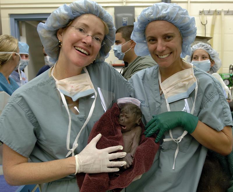 Filhote de gorila nascido em um parque da Florida! (foto: Divulgação)
