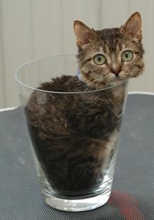 Menor gato do mundo! (foto: Reprodução/College of Veterinary Medicine)