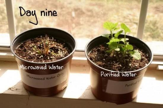 A planta regada com água de micro-ondas morreu após 9 dias! Será? (fotos: Reprodução)