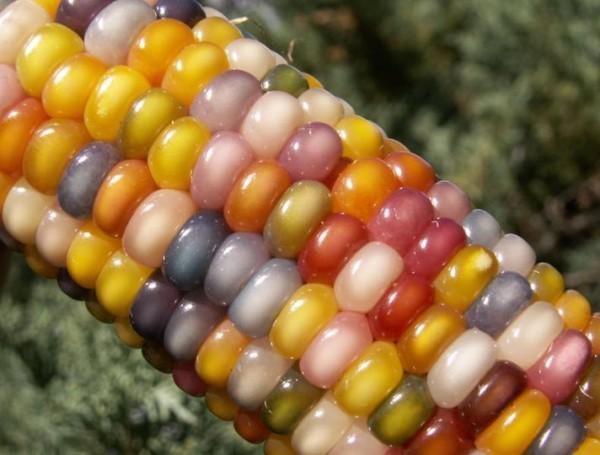 Existe mesmo milho colorido? Verdadeiro ou falso?