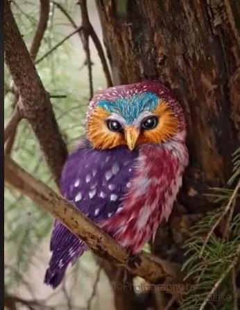 Essas fotos de corujas coloridas são verdadeiras ou falsas?