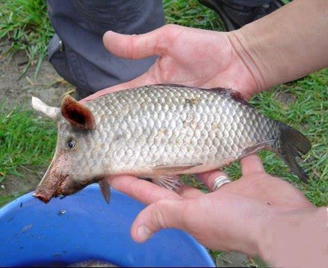 Peixe com focinho de porco teria sido pescado no Rio Grande do Norte! Será verdade?