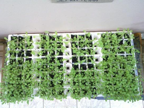 Rafael Soares regou cada grupo de plantas com águas diferentes e todas germinaram igual! (foto: Rafael Soares/Tubo de Ensaios)