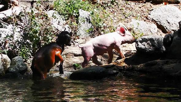 Porco salva cabra em vídeo! Será verdade? (foto: Reprodução/Youtube)