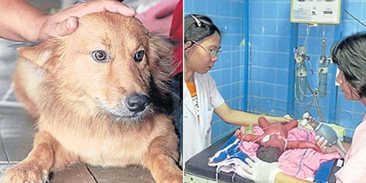 O pequeno vira-latas Pui salvou um recém-nascidona Tailândia! Boa, Pui! (foto: Divulgação)