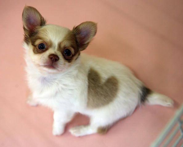 Cachorro nasce com pinta em forma de coração! Verdadeiro ou falso?