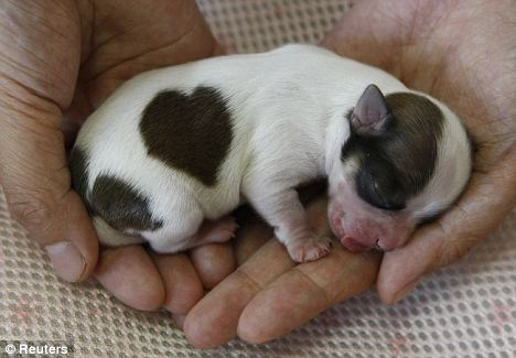 Lovekun - irmão mais novo do cachorro com pinta em forma de coração!
