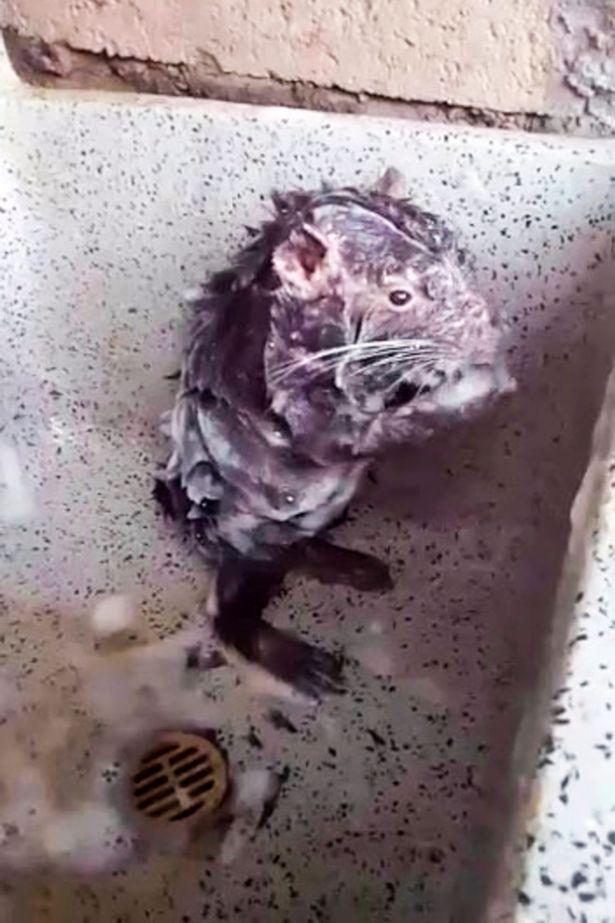 Rato tomando banho igual a um humano?