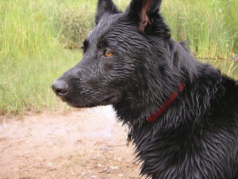 Um cachorro viajou 100 km para morder seu ex-dono que o abandonou?