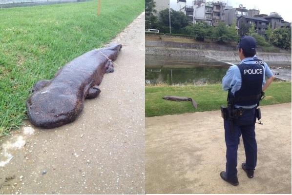 Salamandra gigante encontrada no Japão! Verdadeiro ou falso? (foto: reprodução/Facebook)