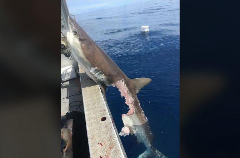 Foto de um tubarão dilacerado é verdadeira ou falsa?