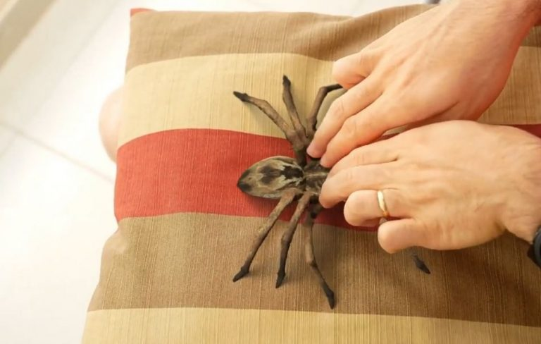 Vídeo mostra um homem fazendo cócegas numa aranha?