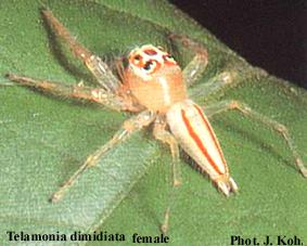 Telamonia Dimidiata - a aranha que ataca nos vasos sanitários! Será?