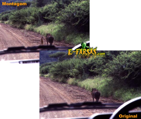 Foto real e a montagem - Timão e Pumba da vida real!