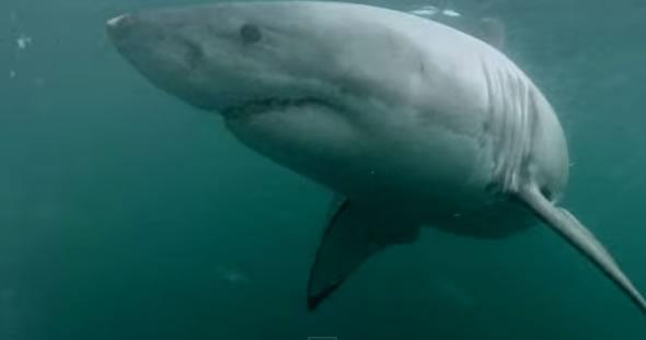 Homem luta com tubarão branco em uma praia na Austrália! Verdadeiro ou falso? (foto: Reprodução/YouTube)