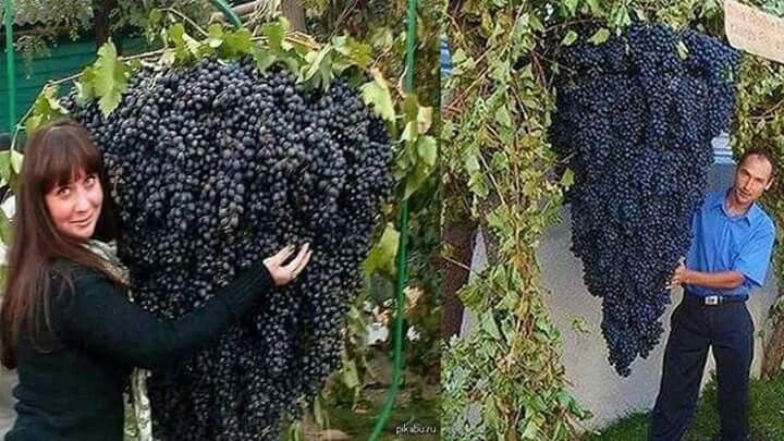 Cachos gigantes de uvas em Israel! Mais uma prova que a Bíblia é verdadeira?