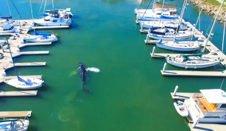 Uma baleia apareceu numa marina devido a redução da atividade humana?