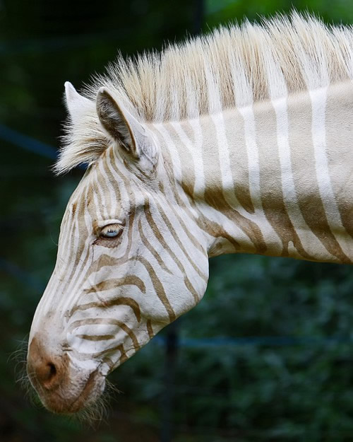 A zebra Zoe (foto: Bill Adams)