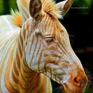 Zebra dourada aparece na web! Verdade ou mentira? (foto: Reprodução/Internet)