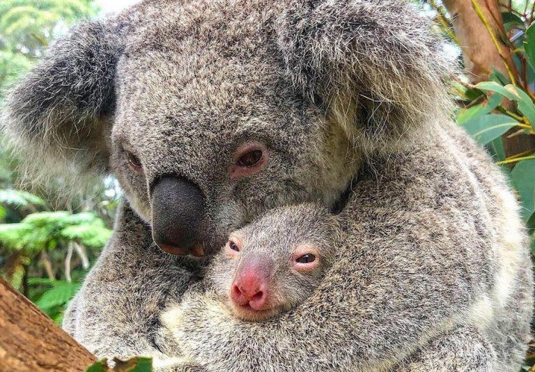 Uma mamãe coala abraçada ao filhote foi resgatada em meio aos incêndios na Austrália?
